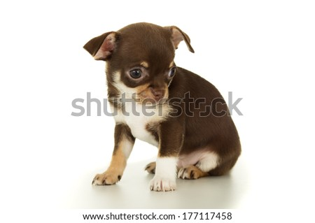 brown chihuahua puppy sitting isolated