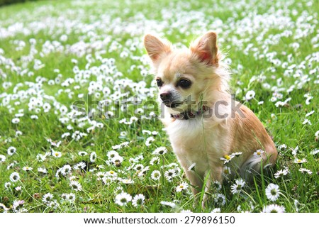 Brown Chihuahua sitting on green grass - stock photo