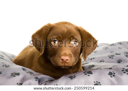 Brown chocolate labrador puppy on grey pillow with paw print 3 - stock photo