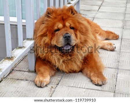 Brown chow chow dog living in the european city. - stock photo