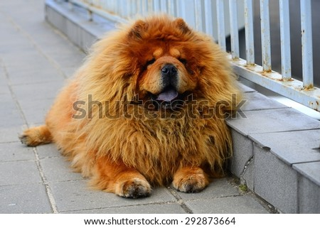 Brown chow chow dog living in the european city. Lithuania.