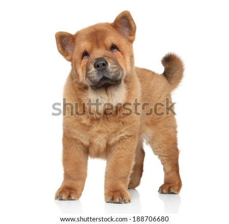 Brown Chow-Chow puppy portrait on white background with reflection - stock photo