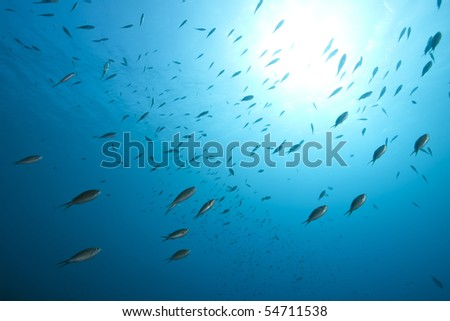 Brown Chromis (Chromis multilineata) swimming against a bright sun and blue water in Bonaire, Netherlands Antilles.