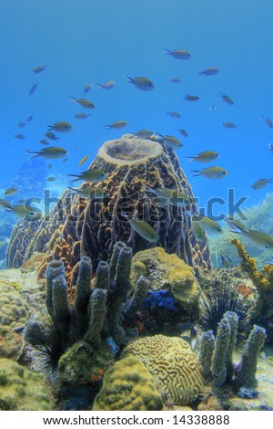 Brown Chromis schooling around top of barrel sponge
