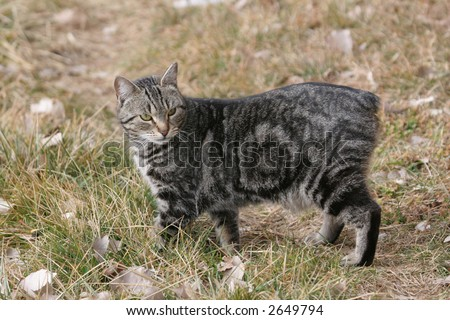Brown classic tabby manx cat outdoors - stock photo