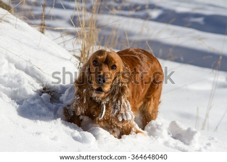 Brown cocker spaniel playing in the fresh snow