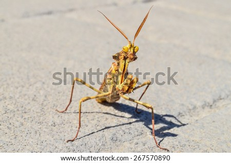 Brown Colored Adult Smart Insect Mantis Religiosa - stock photo