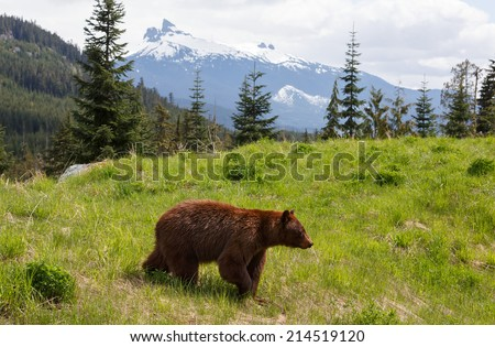 Brown colored black bear up in the mountains - stock photo
