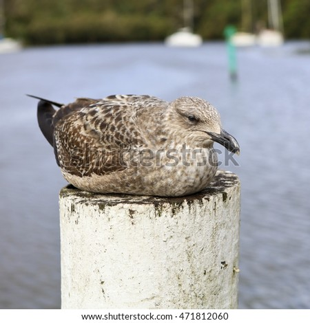 Brown coloured gull sitting on a white post