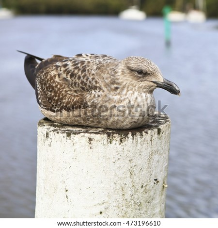 Brown coloured gull sitting on a white post near the water