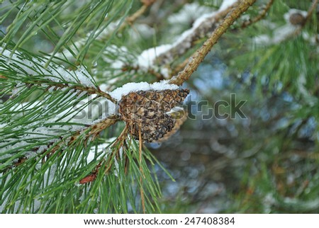 Brown cone with snow among green needles - stock photo