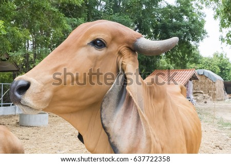 Brown cow.
