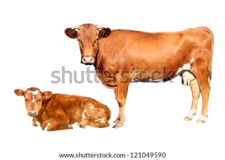brown cow and calf  isolated on white background - stock photo