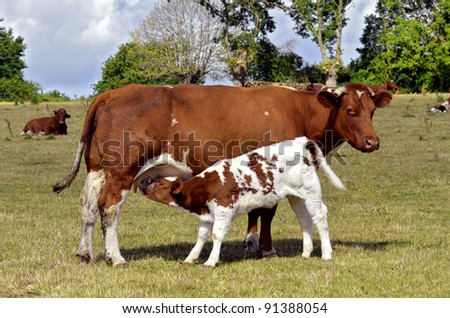 Brown cow and calf suckling in a prairie, department of the Sarthe in France - stock photo