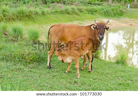 Brown cow and calf suckling near the river - stock photo