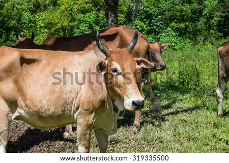 Brown Cow bull on a farm.