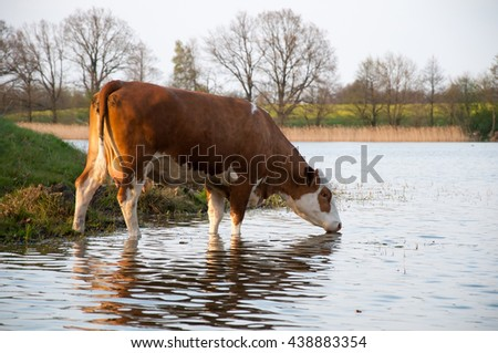Brown cow drinking water from lake - stock photo