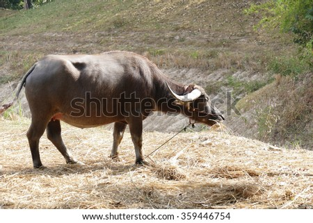 brown cow eating straw in ranch farmland