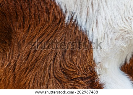 Brown Cow fur (skin) background or texture  - stock photo