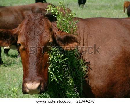 Brown Cow grazing in green pasture