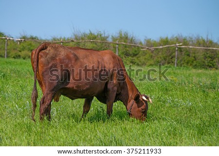Brown cow is grazing on pasture