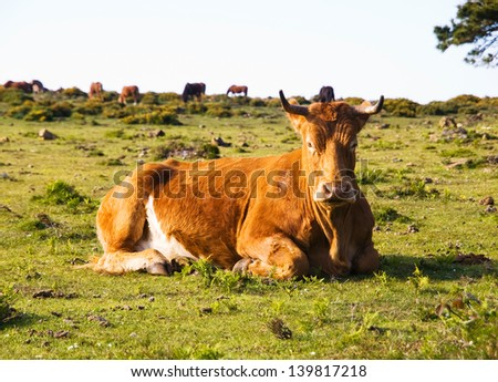 Brown cow lying in a field and looking at camera. This place is located in San Andres de teixido, Galicia, Spain. - stock photo