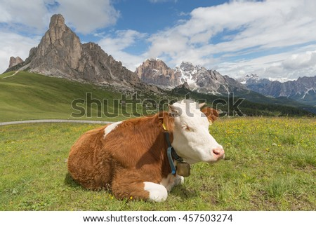 brown cow on the background of the Alps in Italy - stock photo
