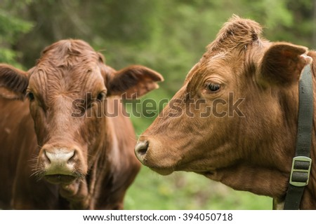 Brown cow portraits with blurred green background in the Alps, Austria - stock photo