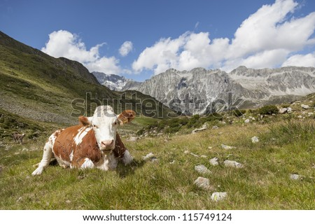 Brown cow resting in meadow, alpine landscape of Hochgall in background, border of Austria, Tyrol/Italy. - stock photo