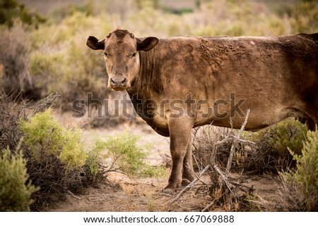 Brown Cow Staring In A Pasture
