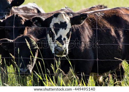 Brown cow with white patterned face stands in field with other plain brown cows - stock photo