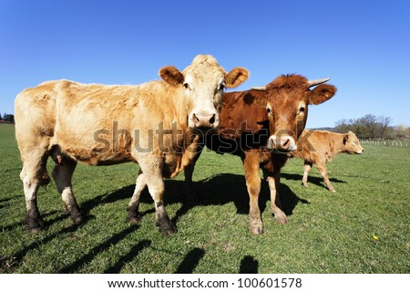 brown cows and calf in french country with blue sky