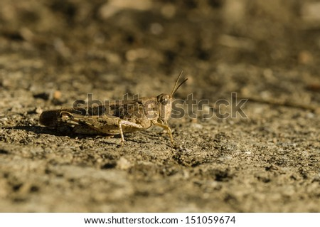 Brown cricket camouflage on dry ground under the sun - stock photo