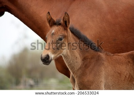 Brown cute foal portrait with his mother at the pasture - stock photo