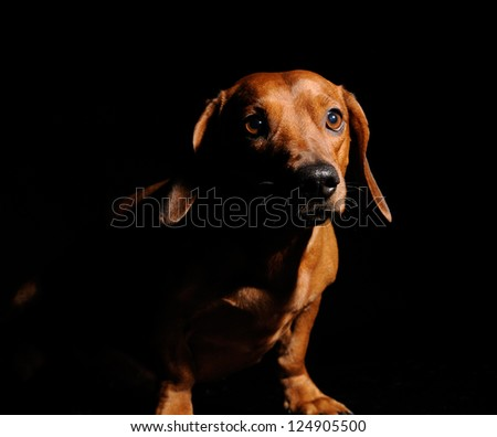 brown dachshund dog isolated over black background