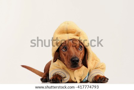 brown dachshund dog over gray background