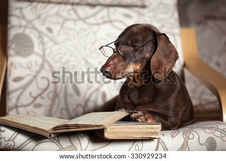brown dachshund lies in a chair with the book