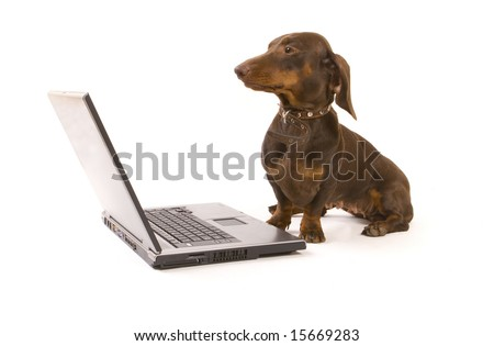 Brown dachshund working on laptop on white ground - stock photo
