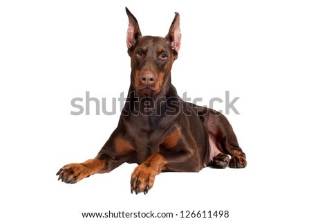 brown doberman dog portrait - stock photo