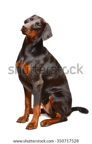 Brown doberman on the white background - stock photo