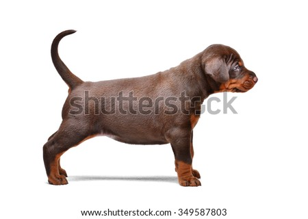 Brown doberman puppy, 1 month