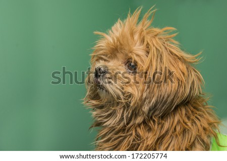Brown Dog and bandages - stock photo
