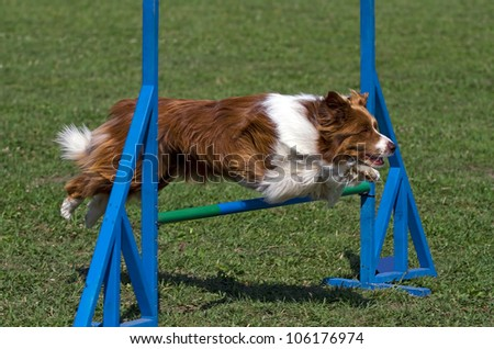 Brown dog exercising in an agility competition - stock photo