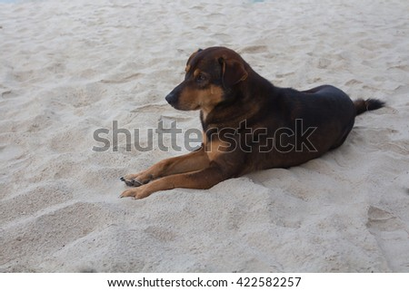 Brown dog lying on a beach.