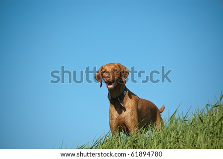 Brown Dog on a Grassy Hill with Blue Sky - stock photo