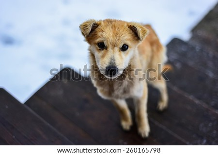 Brown Dog on Stairs Looking at the Camera - stock photo