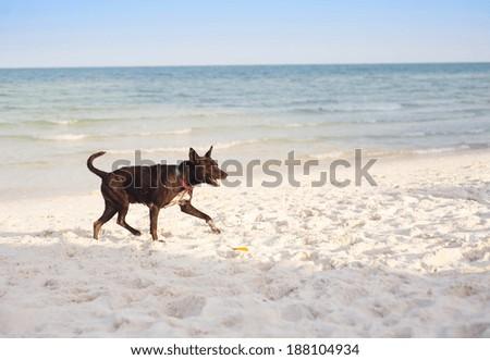 Brown dog running on the sandy beach - stock photo