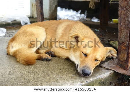 Brown dog sleep on dirty concrete floor of factory:Close up,select focus with shallow depth of field.