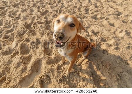 Brown dog smile at seaside - stock photo