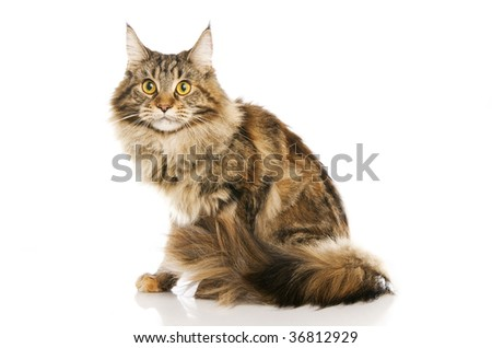 Brown domestic cat over white reflective background